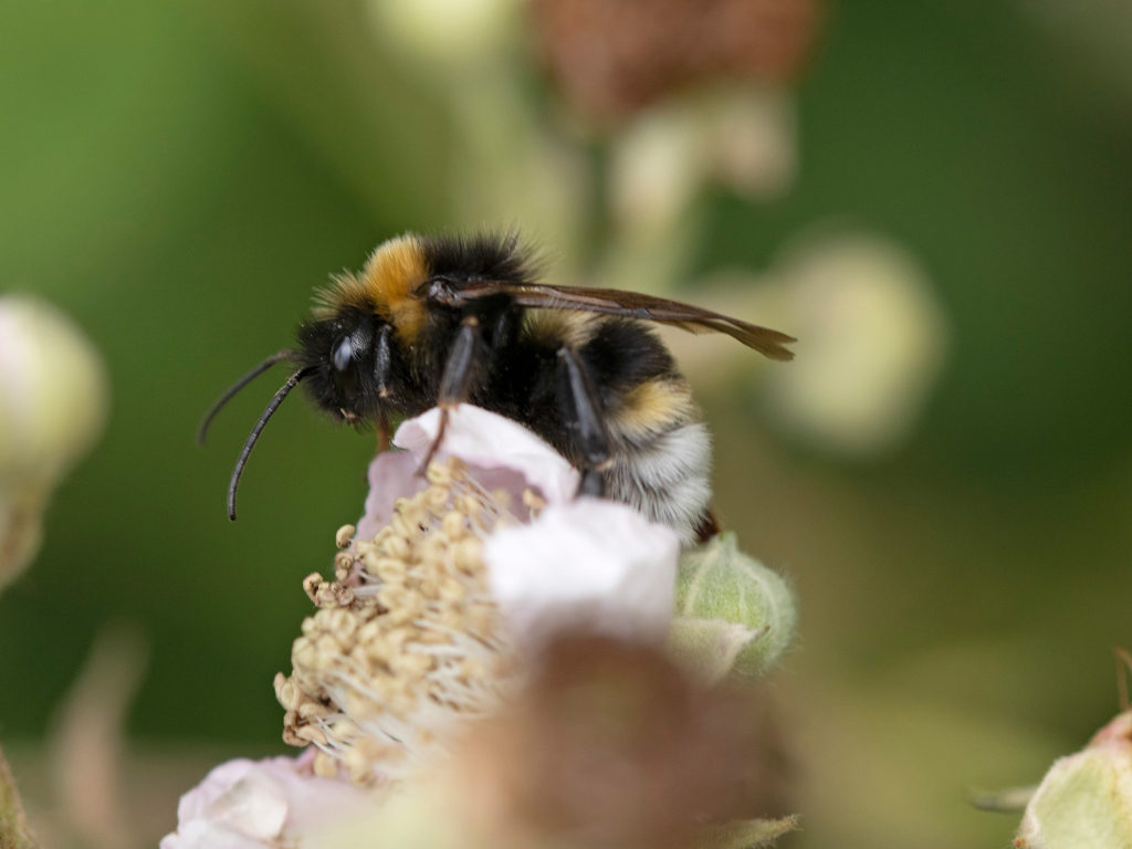 Southern cuckoo bumblebee on bramble on recreation ground
