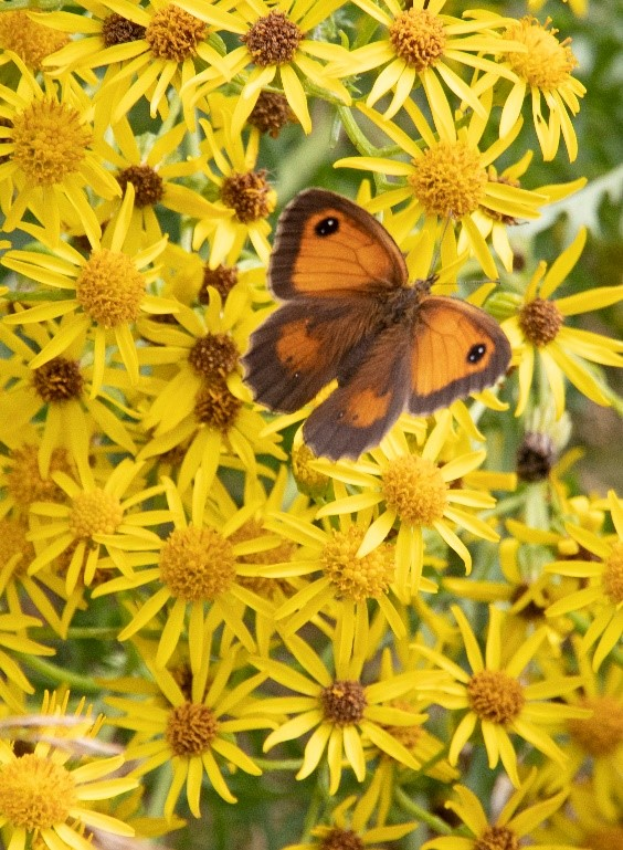 Butterfly - Wildflowers and Pollinators